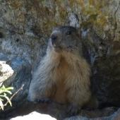 Marmot in the cirque of Estaubé
